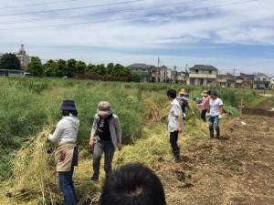 楽農くらぶ 菜花を倒して土台を作る