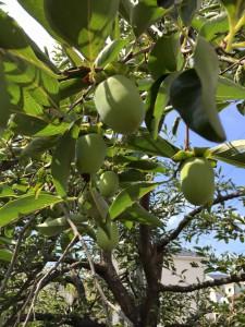 楽農くらぶ 新座市の野瀬さんの畑にて 鈴生りの渋柿