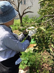 楽農くらぶ 今年も柿渋作りの季節のはじまり