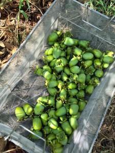 楽農くらぶ カゴいっぱいの渋柿