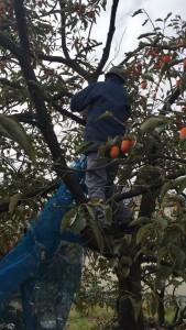 楽農くらぶ 柿の木にスルスル登る野瀬さん