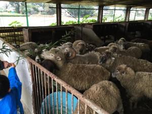 楽農くらぶ かわいらしい羊たち