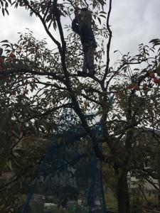 楽農くらぶ 柿の木に登る野瀬さん、大丈夫かな??