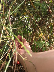 楽農くらぶ ミニトマトも収穫