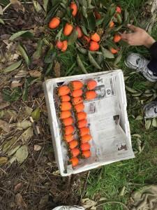 楽農くらぶ 選果してきれいに並べる