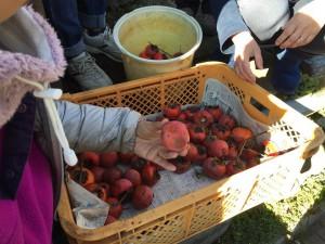 楽農くらぶ 熟した柿を使う柿酢づくり