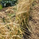 自然工房めばえ|楽農くらぶ 無農薬大麦茶作り