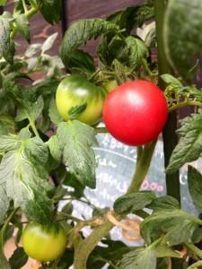 自然工房めばえ|トマトとミントのクリーム作り