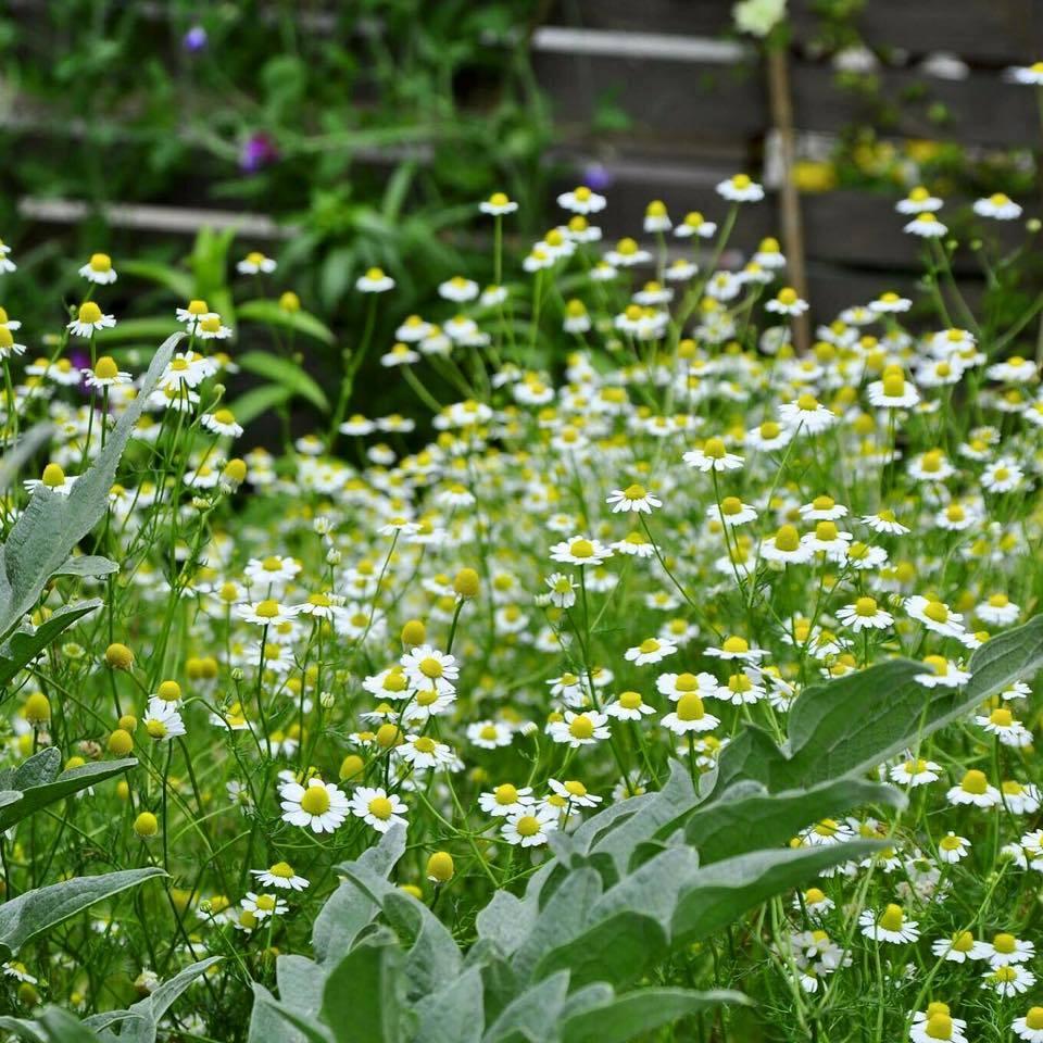 季節のジャーマンカモミールを蒸留してフローラルウォーターで クリームを作ります。蒸留の間は、季節の春の花で 素敵なブーケ作りをしましょう♪ ハーバルライフ講座の共通体験講座となります。