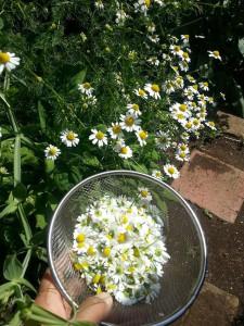カモミールの花摘み